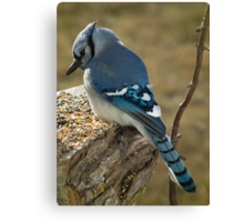 Blue Jay in Contemplative Mood Canvas Print