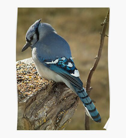 Blue Jay in Contemplative Mood Poster