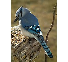 Blue Jay in Contemplative Mood Photographic Print