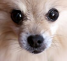 Precious Pomeranian by Tiffany Muff