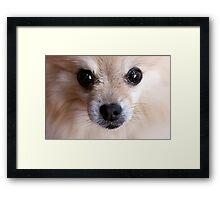 Precious Pomeranian Framed Print