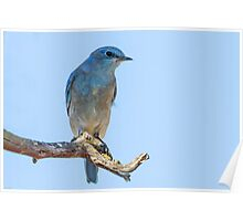 Western Bluebird: Hawking for Gnats & Flies: Sialia mexicana Poster