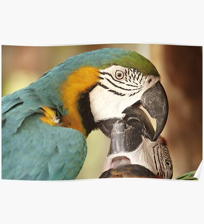 Macaws getting friendly Poster