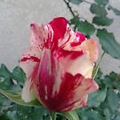 Rose 2013, La Mirada, CA USA by leih2008