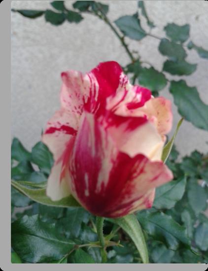 Rose 2013, La Mirada, CA USA by leih2008
