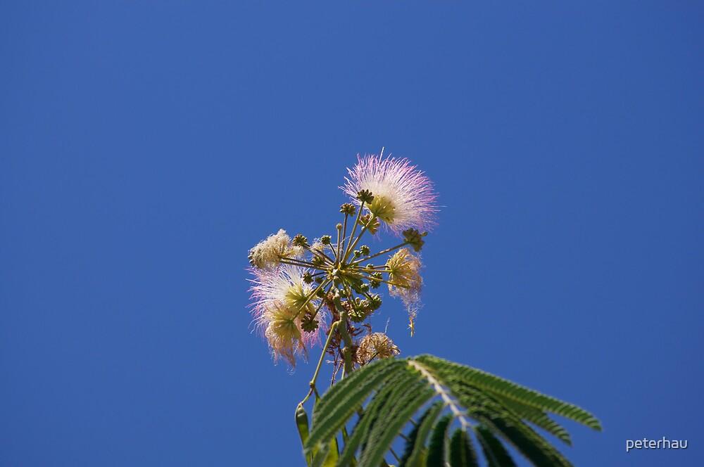 Silk Tree Blossoms by peterhau