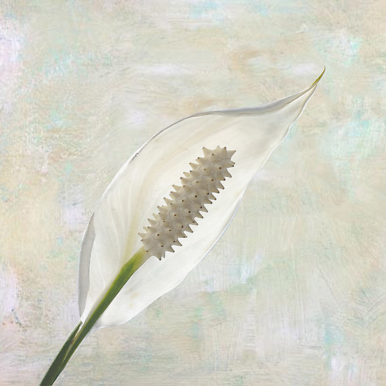 Peace Lily by Aase