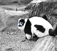 Black-and-white Ruffed Lemur by Tim Topping