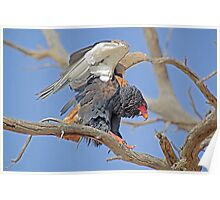 Bateleur Eagle at Kgalagadi National Park South Africa Poster