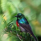Northern Double Banded Sunbird by Edward Ansett-Cunningham