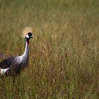 Crowned Crane In marsh. by Edward Ansett-Cunningham