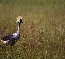 Crowned Crane In marsh. by Edward Ansett-Cunningham