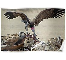 Lapped faced vulture and white-backed vulture on a carcass - Kgalagadi NP RSA Poster