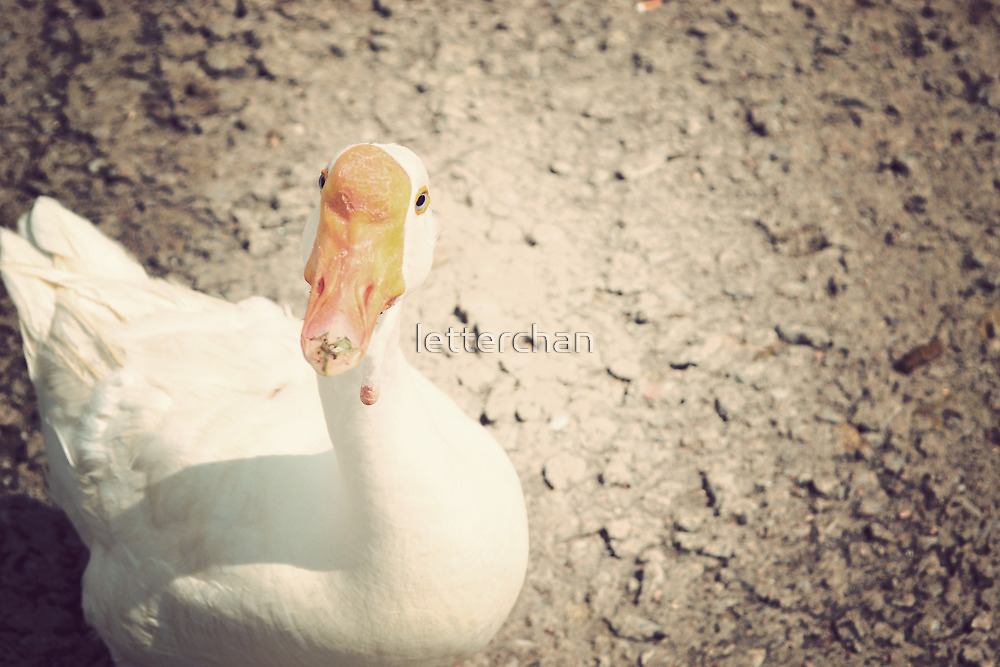 Quack!  by Loretta Marvin