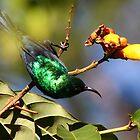 Mariqua Sunbird in tree by Edward Ansett-Cunningham