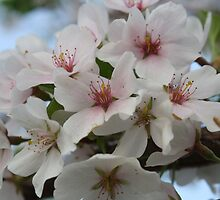 Spring Blossoms by Linda Fields