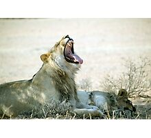 Two lions a glorious rest and a big yawn Etosha N/P Namibia Photographic Print