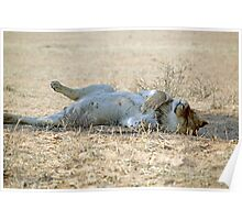 A very lazy young lion resting after a kill Kgalagadi N/P SA Poster
