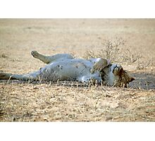 A very lazy young lion resting after a kill Kgalagadi N/P SA Photographic Print