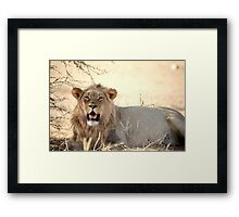 A powerful young male lion at Kgalagadi N/P South Africa  Framed Print
