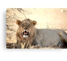 A powerful young male lion at Kgalagadi N/P South Africa  Canvas Print