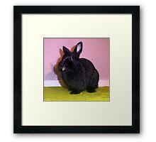 Netherland Dwarf Framed Print