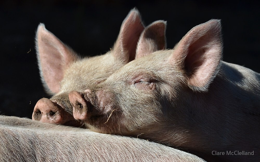 Snuggle Pigs by Clare McClelland