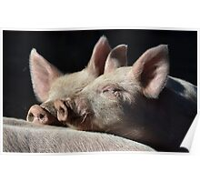 Snuggle Pigs Poster