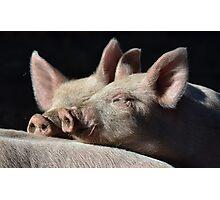 Snuggle Pigs Photographic Print