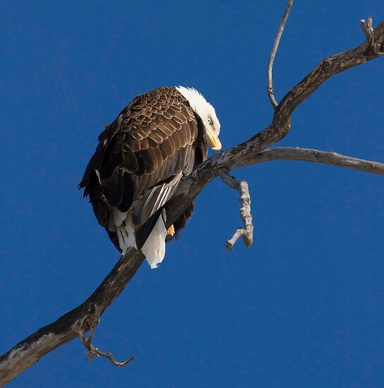 American Bald Eagle by Thomas Young