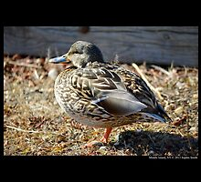 Anas Platyrhynchos - Female Mallard Duck by © Sophie W. Smith