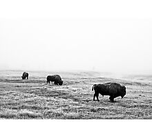 Frosty Bison - Yellowstone National Park Photographic Print