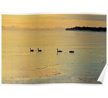 Swans At Wellington Beach Poster