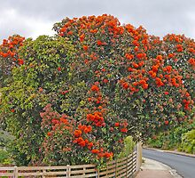 Red Flowering Gum in Penguin by Graeme  Hyde
