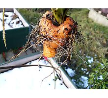 King Winters Carrot Photographic Print
