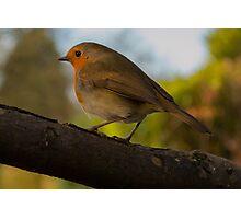 Yorkshire Robin Photographic Print
