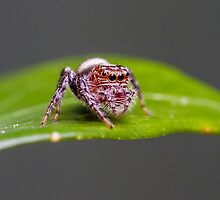 Garden Jumping Spider - Opisthoncus sp. by Normf