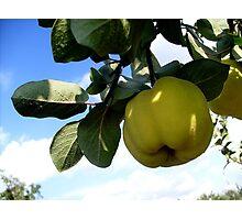 Yellow, ripe quinces Photographic Print