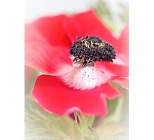 Red Anemone....(III) Photographic Print