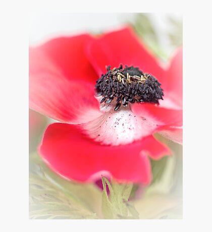 Red Anemone....(III) Photographic Print