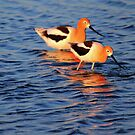 Feeding Avocets by Larry Trupp