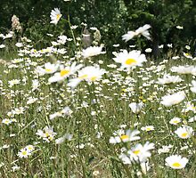 Daisies in summer by Maxine Collins