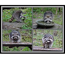 Raccoon Antics Photographic Print