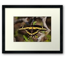 Giant Swallowtail in the Rio Grande River Valley Framed Print