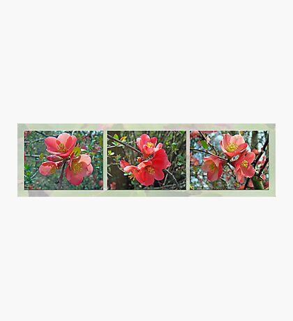 Common Flowering Quince - Chaenomeles speciosa Photographic Print