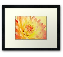 pale pink and yellow dahlia Framed Print