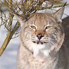 Lynx by Dorothy Thomson