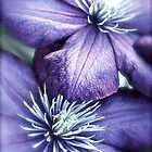 Clematis by Linda Bianic