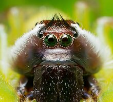 (Mopsus mormon male) Jumping Spider #2 by Kerrod Sulter