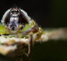 (Mopsus mormon male) Jumping Spider #3 by Kerrod Sulter